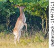 a fallow deer eating from a tree - stock photo