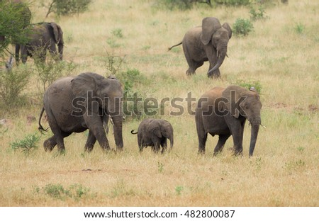 A family herd of African bush elephants (Loxodonta africana) walk at a pace through the grasslands of the Kruger National Park, South Africa