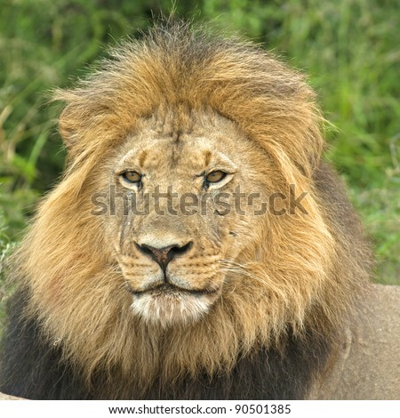 lion against stormy sky stock photo 128702207 shutterstock