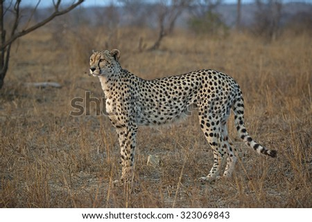 A Female Cheetah gazes across the Savannah plains of Africa in search of Antelope