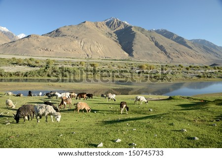 A flock of sheeps grazing on a hill in Pamir, Tajikistan.