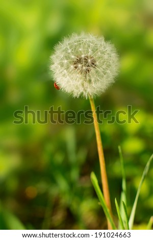 A fluffy dandelion with beetle on a green herb background