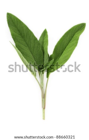 A fresh cutting of sage isolated on a white background.