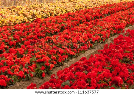 A full-frame image of a cultivated flower field, near Salinas, California.