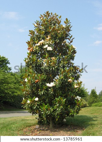 A full shot of the Southern Magnolia tree with typical form and in bloom.