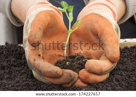 a gardener holding a pea shoot to transplant