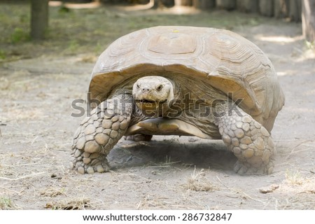 A giant African spurred tortoise (Centrochelys sulcata)