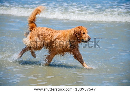 A Golden Retriever Running through the Waves on a Beach