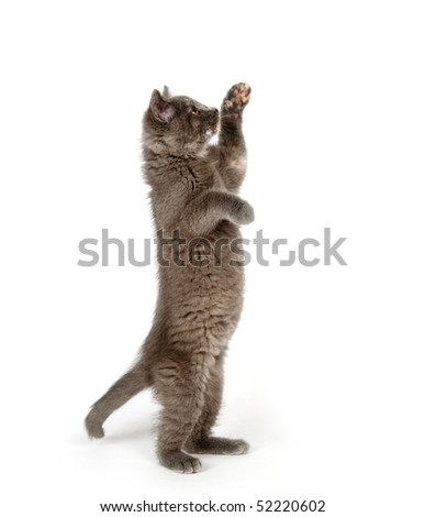 A gray kitten playing on white background