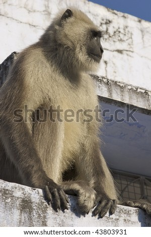 A gray monkey sitting on a porch, India