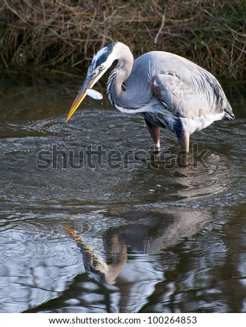 A great blue heron with a fish