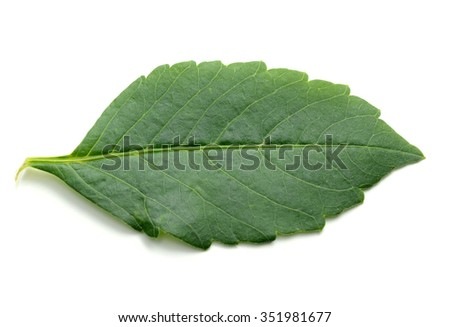A green leaf of dahlia flower isolated