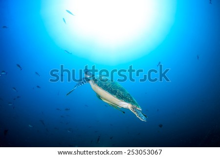 A Green Turtle swims towards the surface of the ocean