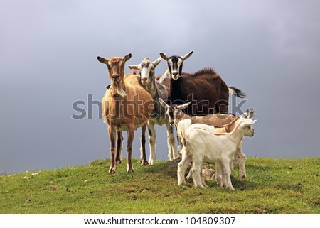 A group of adult and young Goats standing together in a field