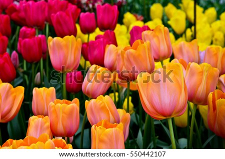 A group of fresh tulip flowers in bright red, orange and yellow taken from an exhibition hall in Keukenhof garden, the Netherlands.