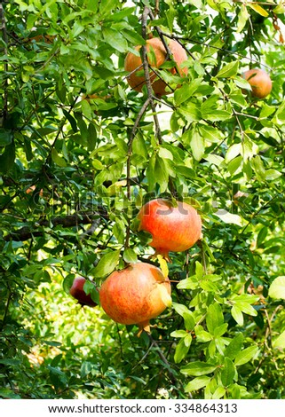 A group of pomegranates ready for harvesting on a tree in Greece