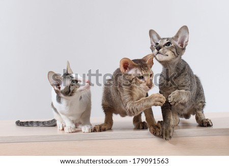 A group of three cats oriental breed photo. kittens playing on a white background