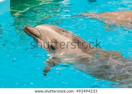 A group show of bottlenose dolphins performing a swimming in the pool.