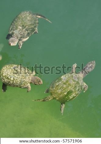 a group with three Snapping turtle swimming on the water surface