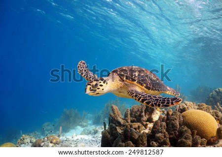 A Hawks-bill Turtle cruising along the reef