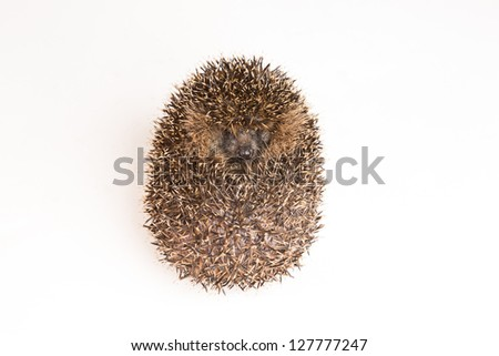 A hedgehog rolls itself up for protection