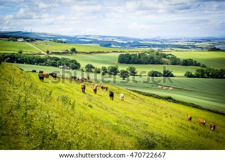 A herd of cows in a field in Scotland,Scottish summer landscape, East Lothians, Scotland, UK