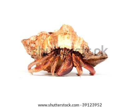 A hermit crab walking on a white background