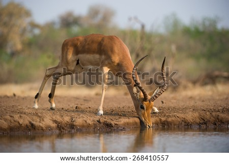 A horizontal, colour photo of a wary impala ram drinking at a waterhole