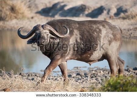 A horizontal, full length, colour photograph of a balding Cape buffalo walking along the edge of a muddy waterhole and staring towards the camera at Sabi Sands Game Reserve, South Africa.