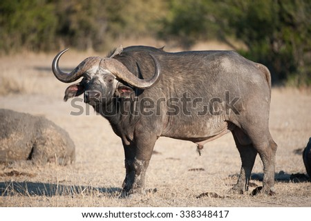 A horizontal, full length, colour photograph of a Cape buffalo standing in side light with his head and horns facing the camera, at Elephant Plains, Sabi Sands Game Reserve, South Africa.