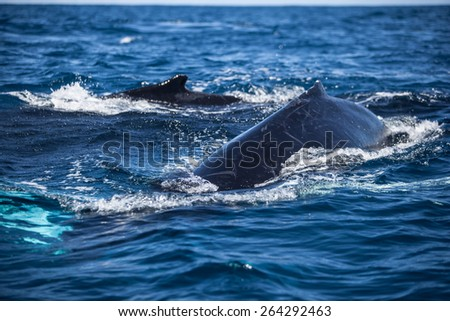 A Humpback whale (Megaptera novaeangliae) surfaces in the Atlantic Ocean. This endangered cetacean species migrates from the Northern Atlantic to the Caribbean each winter to breed or give birth.