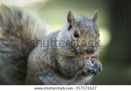 A hungry North American grey squirrel chows down on a peanut in a park.  Close up of park animals in Ottawa, Canada.