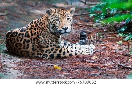 A Jaguar Sitting Calmly on the Ground