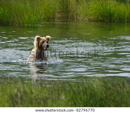 A juvenile Alaska brown bear walks on its hind legs through a lake searching for salmon
