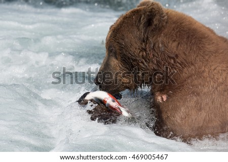 A large Alaskan Brown bear just below Brooks Falls in Katmai National Park feeding on a sockeye salmon