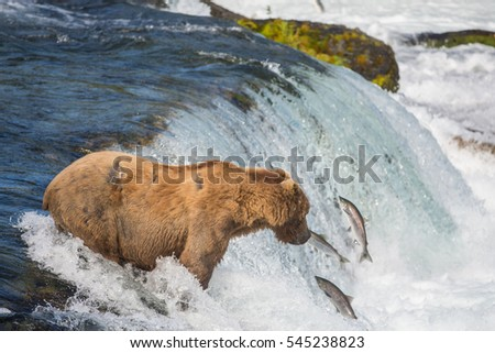 A large Alaskan brown bear on top of Brooks Falls attempting to catch sockeye salmon in Katmai National Park, Alaska