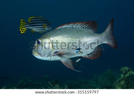 A large brightly coloured black nape large-eye bream (Gymnocranius sp)  tropical fish swimming beside a tropical coral reef at Tulamben in Bali in Indonesia with a dark background