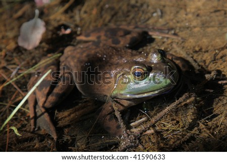 A large Bullfrog sitting on the surface of a pond, in Algonquin Park, Ontario, Canada.