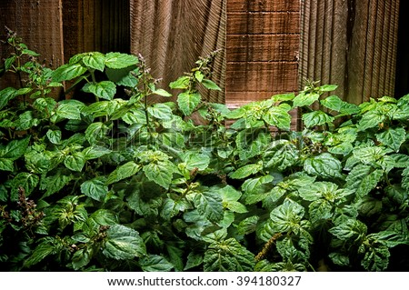 A large lush green patchouly (Pogostemon cablin) plant with small red flowers against a wooden fence.
