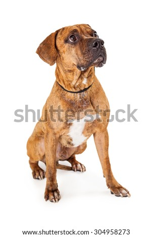 A large Mixed Breed Dog sitting at an angle looking up and to the side