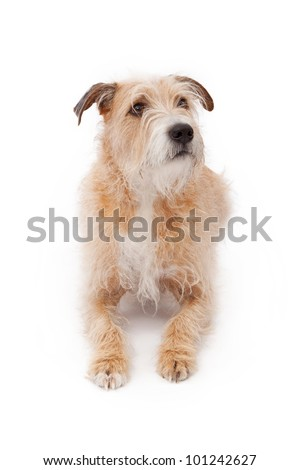 Long Haired Chihuahua Wire Hair Terrier Mix A large mixed breed wire ...