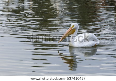 A large Pelican on the water