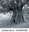 A large tree with an hole at the base. - stock photo