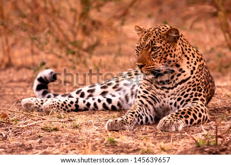 A leopard lying on the ground