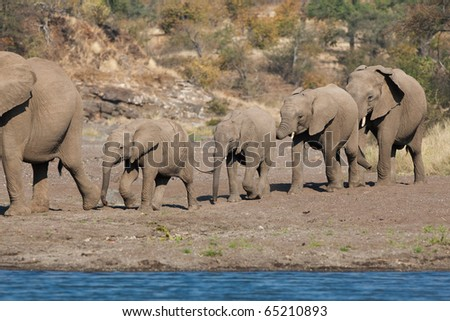 A line of African elephants