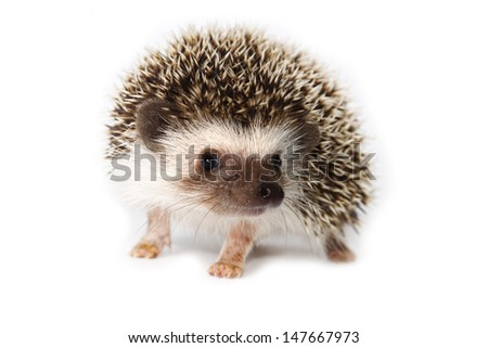 A little hedgehog on white background.