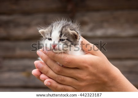 a little kitten in hands on a wooden background.