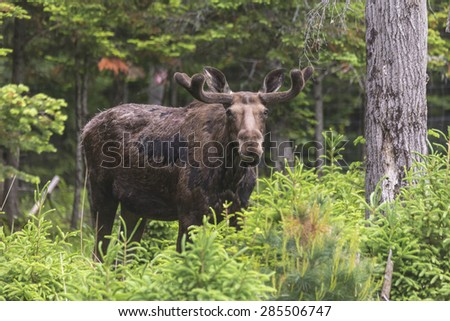 A lone, large male moose