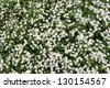 a lot of daisies in a meadow - stock photo
