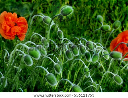 a lot of flowers of poppy unblown